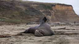 Seekor gajah laut jantan beristirahat di atas pasir Pantai Drakes di California pada Jumat (13/12/2019). Gajah laut memang senang menghabiskan waktu di pantai setelah berburu makanan di laut. (Photo by Philip Pacheco / AFP)