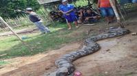 Penampakan ular piton 'raksasa' seberat 250 Kg yang sempat menggegerkan warga. (JawaPos.com)