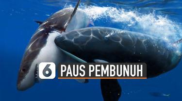 Beredar video menunjukkan Paus yang ada di perairan Indonesia. Paus itu terlihat ada beberapa dan disebut sebagai paus pembunuh di asalnya.