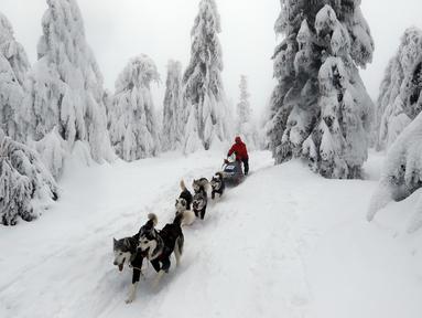 Pengemudi kereta luncur anjing menembus salju saat mengikuti lomba Sedivackuv Long di Destne v Orlicky Horach, Republik Ceko, Jumat (25/1). Lomba ini diikuti 100 pebalap. (AP Photo/Petr David Josek)
