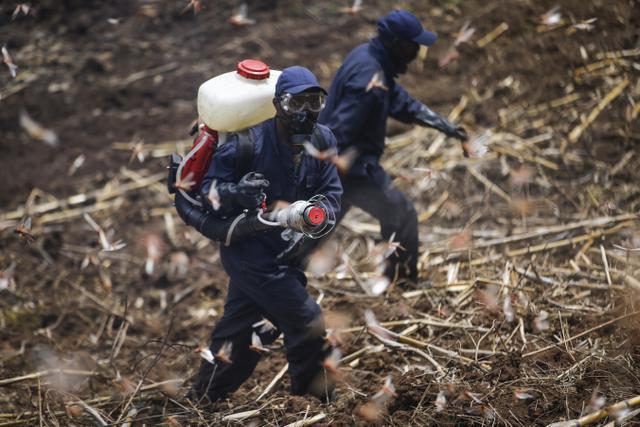 Miliaran belalang menyerang lahan pertanian di Kenya. AP Photo/Brian Inganga