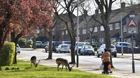 Warga melewati kawanan rusa Bera yang mencari rumput di halaman sebuah perumahan di Harold Hill, London, 4 April 2020. Rusa yang diyakini berasal dari Taman Dagnam itu kini berada di dekat area perumahan yang sepi saat Inggris memberlakukan lockdwon selama pandemi corona Covid-19. (Ben STANSALL/AFP)