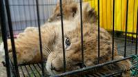 Anak singa Afrika yang disita Polda Riau dari jaringan perdagangan satwa dilindungi. (Liputan6.com/M Syukur)