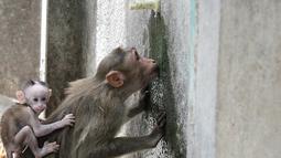 Seekor monyet minum air dari keran selama musim panas di Guindy Children's Park di Chennai, India (10/6/2019). Gelombang panas yang menyapu bagian utara dan barat India dengan suhu maksimum melonjak hingga 48 derajat Celcius ( 118 F) membuat para monyet kepanasan. (AFP Photo/Arun Sankar)