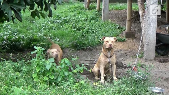 Dua ekor anjing pitbull menyerang seorang pencari kayu bakar hingga tewas. Diketahui kedua anjing itu kerap dibiarkan pemiliknya berkeliaran.