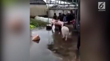 Beginilah aksi seekor babi ketika menyelamatkan temannya yang akan disembelih para penjagal