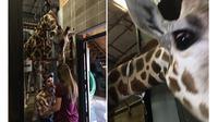 Seekor jerapah, Mili, membantu Cody Hall saat akan melamar pacarnya di Dickerson Park Zoo.