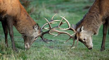 Rusa muda mengadu tanduk selama musim rutting (kawin) yang berlangsung pada musim gugur di Bushy Park, London, Rabu (14/10/2020).  Rusa jantan bertarung satu sama lain menunjukkan kekuatan mereka untuk merayu rusa betina.  (AP Photo/Matt Dunham)