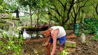 Mbah Ngatemin (78) penjaga makam Dukuh Setro Sayung Demak sedang memangkas mangrove di sekitar makam. (Foto: Liputan6.com/Kusfitria Marstyasih)