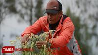 Petani Edelweis melihat kondisi bunga yang dibudidayakan untuk pembibitan bunga Edelweis di lahan kas Desa Wonokitri. (TIMES Indonesia/Adhitya Hendra)
