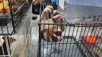 Salah satu satwa dilindungi jenis kukang disita Polda Riau dari penjual satwa di Pekanbaru. (Liputan6.com/M Syukur)