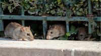 Tikus yang berkeliaran di sekitar area tempat tinggal berpotensi mengganggu kesehatan keluarga.