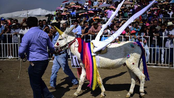 Seekor keledai dihias menyerupai unicorn saat mengikuti National Donkey Fair di Otumba, Meksiko (1/5). Acara tahunan ini diikuti sekitar 7.000 orang. (AFP Photo/Pedro Pardo)