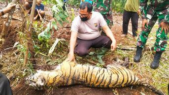 Sebelum Mati, Harimau Sumatra di Bengkalis 5 Hari Tersiksa karena Jerat Baja