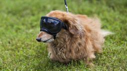 Seekor anjing peliharaan yang mengenakan kacamata pelindung berpose dalam acara Party 4 Paws 2020 di Toronto, Kanada, 30 Agustus 2020. Sebuah acara yang cocok dikunjungi keluarga, pameran hewan peliharaan ini menarik ratusan pengunjung bersama anjing peliharaan mereka. (Xinhua/Zou Zheng)