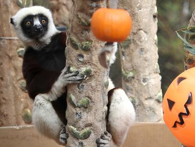 Seekor lemur sifaka menatap labu yang diletakkan di dalam kadang Kebun Binatang San Francisco, California, pada 26 Oktober 2018. Lemur di kebun binatang tersebut menerima labu berisi kudapan untuk merayakan Halloween. (Justin Sullivan/Getty Images/AFP)
