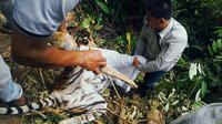 Harimau betina ditemukan tewas di tepi jurang (Liputan6.com/M. Syukur)