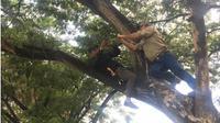 Matt Wright bersama petugas BKSDA Sulteng sedang mengikat tali ke pohon untuk digunakan menyuplai umpan ke perangkap di Sungai Palu, Jumat (28/2/2020). (Liputan6.com/Heri Susanto)