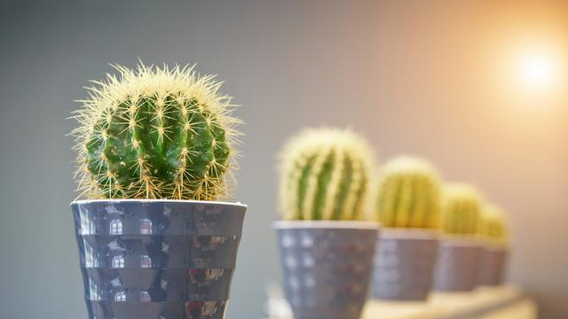 6 Cara Merawat Kaktus Hias Di Dalam Ruangan Mudah Dipraktikkan Hot Liputan6 Com
