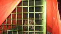 Giring, seekor Harimau Sumatra (panthera tigris sumatrae) yang berada di kandang milik BKSDA Bengkulu, belum siap dilepasliar dan dalam tahap rehabilitasi di Taman Wisata Alam Seblat Bengkulu Utara. (Liputan6.com/Yuliardi Hardjo Putra)