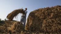 Seorang petani memanen padi di sebuah sawah di Desa Awantipora, Distrik Pulwama dekat Kota Srinagar, Kashmir yang dikuasai India (23/9/2020). (Xinhua/Javed Dar)
