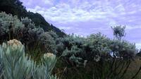 Padang edelweis di alun-alun Surya Kencana, Gunung Gede.