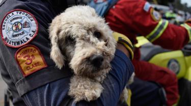 Petugas pemadam kebakaran membawa seekor anjing yang ditemukan dua hari setelah letusan gunung Fuego yang tertutup debu di desa San Miguel Los Lotesi Departemen Escuintla, sekitar 35 km di barat daya Kota Guatemala (5/6). (AFP Photo/Johan Ordonez)