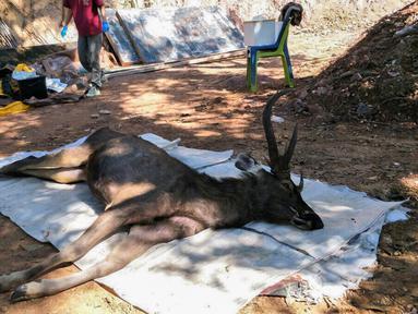 Gambar yang diambil pada 25 November 2019 memperlihatkan dokter hewan bersiap memeriksa rusa mati di Taman Nasional Khun Sathan, Thailand. Rusa liar berumur 10 tahun itu ditemukan mati setelah menelan 7 kilogram (15 pon) kantong plastik dan sampah lainnya. (HO/Office of Protected Area Region 13/AFP)