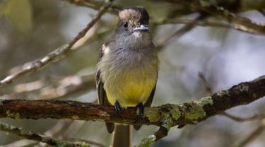 Seekor burung bertengger di pepohonan di bukit San Miguel, dekat Medellin, Kolombia, Kamis (18/5). Pada tanggal 17 Mei, Kolombia diumumkan sebagai juara Global Big Day, dengan 1.486 spesies burung. (AFP/JOAQUIN SARMIENTO)