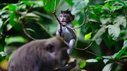 Monyet ekor panjang berada di Sacred Monkey Forest atau yang lebih dikenal dengan Monkey Forest di Ubud, Bali pada 16 November 2018. Keunikan hutan ini adalah terdapatnya ratusan Kera Bali ekor panjang yang bebas berkeliaran di alam. (GABRIEL BOUYS/AFP)