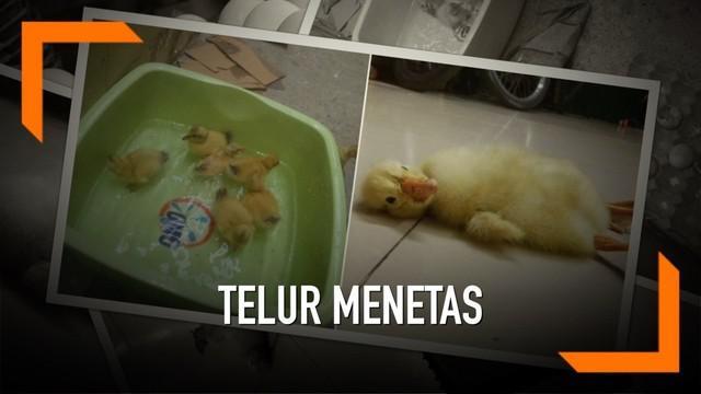 Awalnya, seorang wanita membeli telur-telur itu untuk dikonsumsi. Alih-alih menunggu waktu yang tepat untuk dimakan, 2 lusin telur malah menetaskan bebek-bebek mungil.