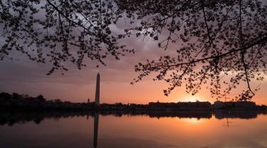 Pemandang pohon sakura yang bermekaran di dekat Tidal Basin saat matahari terbit di Washington, DC, (4/4). Keindahan pohon Sakura yang bermekeran menandai dimulainya musim semi di Washington. (AFP Photo/Saul Loeb)