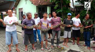 Warga kampung Karang Jalak, CIrebon, Jawa barat, digegerkan penemuan seekor ular Sanca batik yang ditangkap saat akan memasuki dapur rumah.