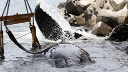 Seekor paus yang terdampar saat dievakuasi dengan alat berat di Reunion, Prancis (29/10). Paus yang terdampar sejak Senin (29/10) di pantai utara Reunion ini akhirnya mati pada Selasa (30/10). (AFP Photo/Richard Bouhet)