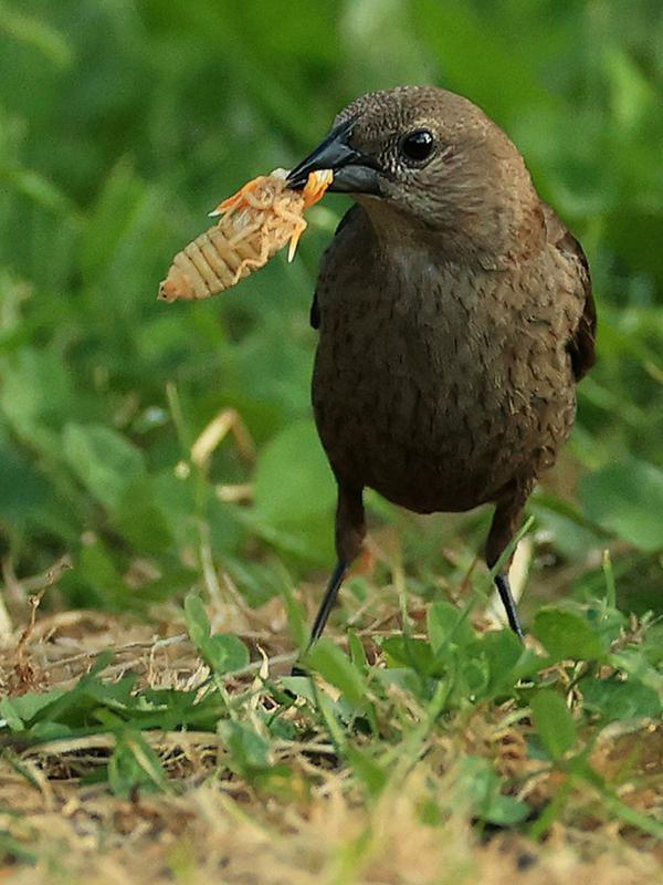 Seekor burung menggunakan paruhnya untuk menaruh jangkrik yang baru saja berganti kulit sebelum memakannya di Takoma Park, Maryland, Amerika Serikat, 18 Mei 2021. Jangkrik Brood X menjadi sumber makanan berprotein tinggi untuk burung, hewan, dan serangga lainnya. (Chip Somodevilla/Getty Images/AFP)