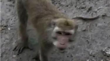 Petugas menetapkan Bendung Katulampa berstatus siaga III, hingga monyet liar menyerbu permukiman warga di Surabaya.