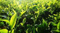 Hamparan teh hijau di area perkebunan kawasan Cigedug, Garut Jawa Barat, memberikan panorama indah bagi siapapun yang menikmatinya (Liputan6.com/Jayadi Supriadin)