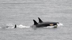 Paus pembunuh J35 (depan) berenang dengan kelompoknya dekat San Juan, Pulau di Washington, Alaska, Amerika Serikat, Sabtu (11/8). J35 terlihat berenang mengejar sekelompok salmon dan tak lagi membawa bayinya yang mati. (Center for Whale Research via AP)