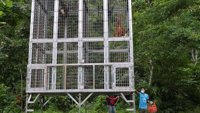 Orangutan bernama Keupok Rere dan Elaine berada dalam kandang saat akan dilepasliarkan di Cagar Alam Hutan Pinus Jantho, Aceh Besar, Selasa (18/6/2019). Kedua satwa dilindungi tersebut disita dari warga sekitar dua tahun lalu. (CHAIDEER MAHYUDDIN/AFP)