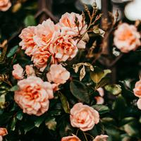 ilustrasi jenis bunga yang bermanfaat untuk kecantikan/pexels