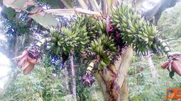 Citizen6, Maluku: Di Provinsi Maluku Utara, Kabupaten Halmahera Tengah tepatnya di Kota Weda tumbuh sebuah pohon pisang yang bertandan tiga. (Pengirim: Ghopal)