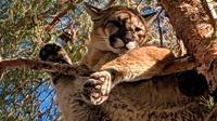 Seekor singa gunung ditemukan di atas pohon halaman belakang sebuah rumah di San Bernardino County, California, 16 Februari 2019. Singa itu bertengger di cabang setinggi sekitar 15 meter. (Rick Fischer/California Department of Fish & Wildlife via AP)