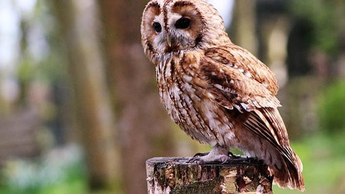 Jenis Burung Hantu Paling Populer Di Dunia Berminat Untuk Memeliharanya Citizen6 Liputan6 Com
