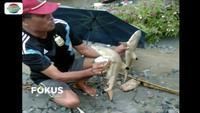 Viral video warga Kampung Kemiri temukan empat ekor hiu pekarangan rumah usai banjir bandang di Sentani, Papua.