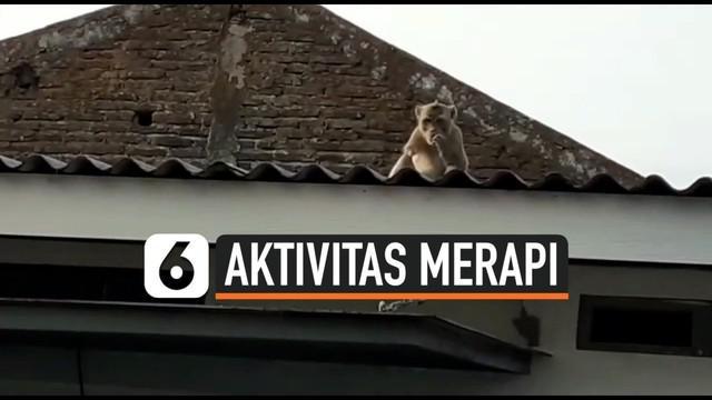 Ratusan kera liar di sekitar Gunung Merapi mendadak turun ke permukiman warga. Keberadaannya berkaitan dengan meningkatnya aktivitas Gunung Merapi.