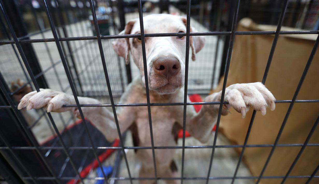 Seekor anjing berada dikandang di NRG Arena di Houston, AS (13/9). Relawan mengamankan sekitar 400 anjing dan 100 kucing untuk membantu menyatukan pemilik dengan hewan peliharaannya yang hilang akibat Badai Harvey. (Karen Warren/Houston Chronicle via AP)
