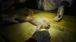 Dokter hewan dan mahasiswa mengobati primata Kukang (Nycticebus) setelah operasi amputasi di sebuah fakultas hewan di Banda Aceh, Kamis (9/1/2020). Dua ekor kukang yang diobati itu diserahkan warga Kab. Aceh Besar dan Aceh Tengah dalam kondisi terluka pada mata dan kaki. (CHAIDEER MAHYUDDIN/AFP)