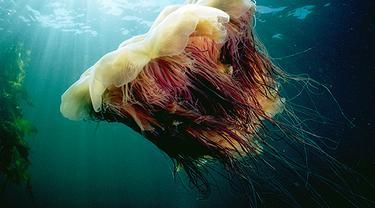 Hewan Terpanjang di Laut Bukanlah Hiu, Tapi.....