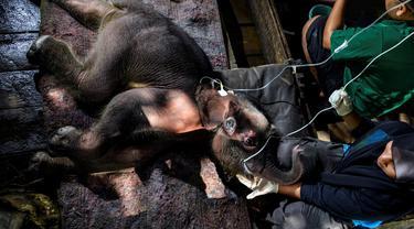 Seekor bayi gajah Sumatera mendapat perawatan medis di Pusat Konservasi Gajah Saree, Aceh Besar, Aceh, Senin (15/2/2021). BKSDA Aceh menyatakan gajah yang dievakuasi setelah terjebak dalam kubangan lumpur di Kecamatan Tiro, Kabupaten Pidie, masih dalam perawatan tim medis. (CHAIDEER MAHYUDDIN/AFP)