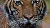 Harimau Malaya bernama Nadia terlihat di Kebun Binatang Bronx, New York City, Amerika Serikat, Minggu (5/4/2020). Belum diketahui bagaimana virus corona COVID-19 dapat menginfeksi harimau berusia 4 tahun tersebut. (JULIE LARSEN MAHER/Wildlife Conservation Society/AFP)
